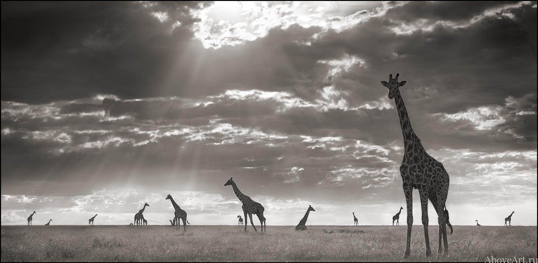 Giraffe black and white wallpaper
