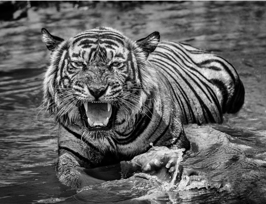 тигр плывет