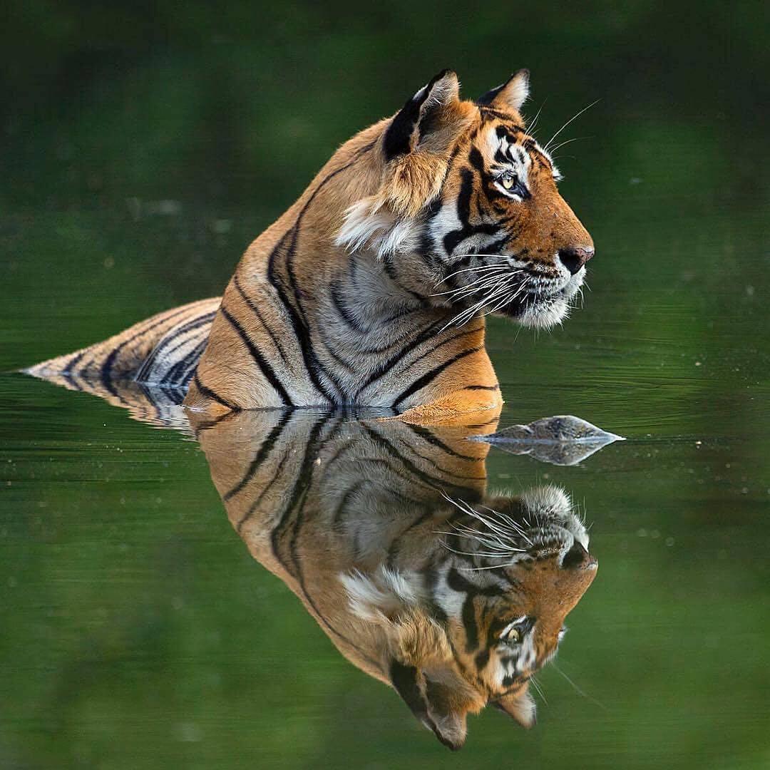тигр фотография тигра