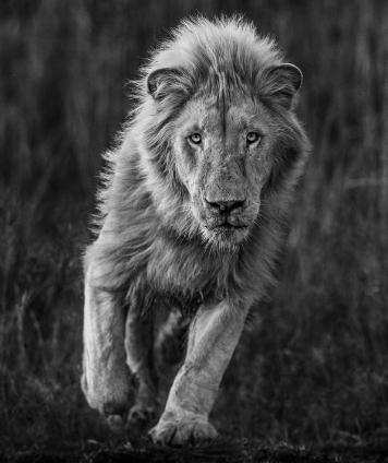 молодой лев фото